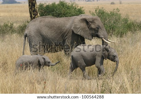 a n elephant family of Bull, Cow, and Calf, takes a walk in Ngorogoro crater, in Tanzania, Africa.