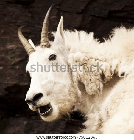 A nanny Rocky mountain goat (oreamnos americanus) looks alarmed. Sometimes called the Rocky Mountain ghost, this large-hoofed mammal found in North America lives at high elevations.
