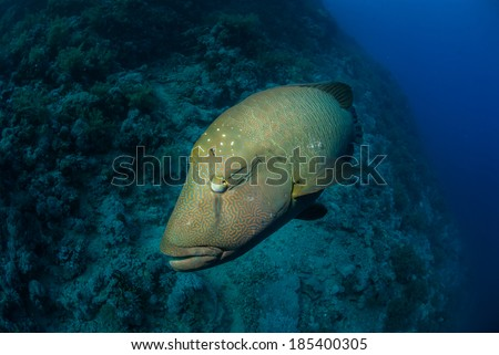 A napoleon wrasse with a coral reef background