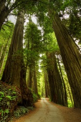 A narrow road through the Redwood Forest.