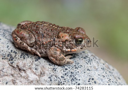 a Natterjack Toad sitting on a stone
