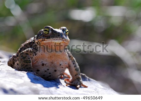 A Natterjack Toad sitting proudly.