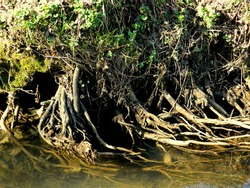 A natural view of a bank edge with tangled roots and water on a sunny summer day