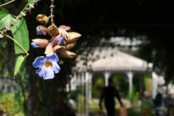 A naturally blue Chinese trumpet vine at King Rama 9 Park ,Bangkok Thailand