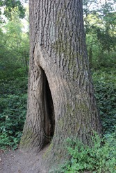 A naturally formed tree hollow at the base of the tree.