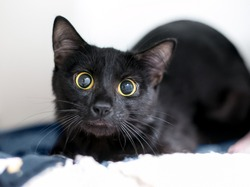 A nervous black shorthair cat with huge eyes and dilated pupils