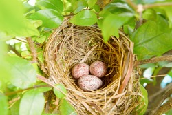 A nest filled with three  bird eggs