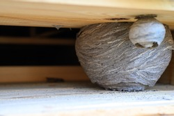 a nest or a hive of wild wasps in a niche under the roof of a wooden village house
