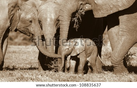 A new born baby elephant calf interacts with his family and other siblings in this beautiful monochrome photo taken in Addo elephant national park,eastern cape,south africa - stock photo