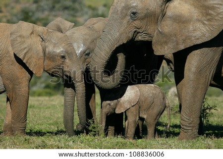 A new born baby elephant grazing and interacting with the family herd during a safari in addo elephant national park,eastern cape,south africa