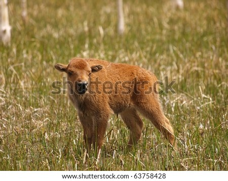 A new born spring calf learning to walk over a swamp