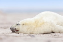 a new born white grey seal baby sleeps at the beach, with blurred natural background