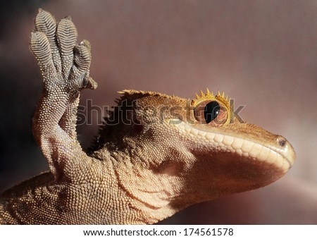 A new Caledonian crested gecko (Rhacodactylus ciliatus) from the bottom clutching to a glass