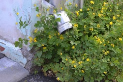 A new rain pipe on the wall of an old house and a beautiful green flowering weed bush