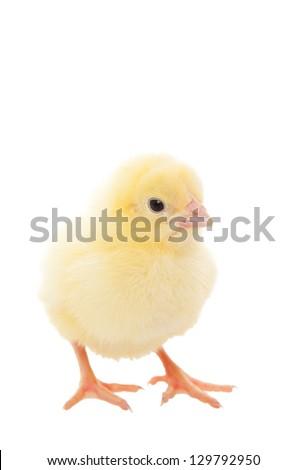 A newborn baby chick on white background.
