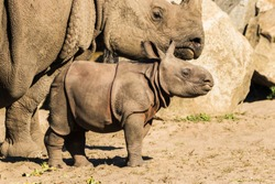 A newborn baby Rhino with mother at the Berlin zoo Tierpark.
