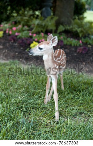 A newborn fawn standing on a landscaped lawn