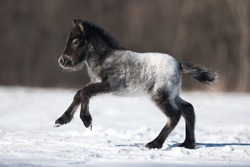 a newborn horse foal grey Appaloosa pony runs gallop on the winter field