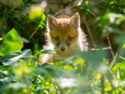 A newly born fox cub (vulpes vulpes) peers from undergrowth in this wild natural setting.Backlit sunlight.Image