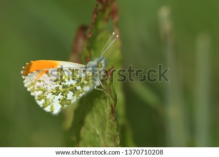 A newly emerged male Orange-tip Butterfly (Anthocharis cardamines) perched on a leaf.
