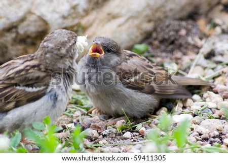 A newly fledged chick in Russia.  Passer domesticus, House Sparrow