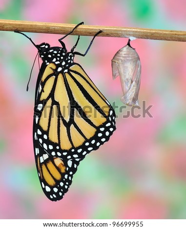 A newly- hatched Monarch butterfly (Danaus plexippus) and his chrysalis.