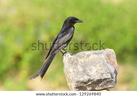 A nice and details of Black Drongo on the rock