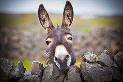 A nice donkey under the rain . Aran Islands, Ireland.