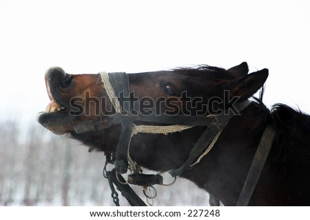 A nice horse showing it's teeth