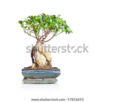 a nice little bonsai tree