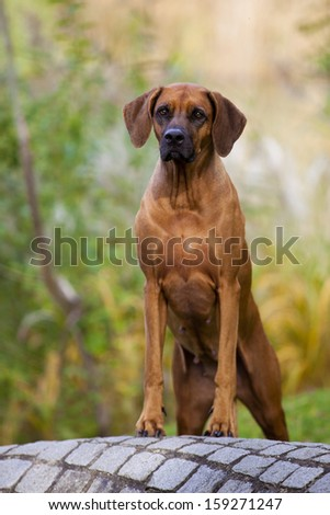 A nice looking black nosed Rhodesian Ridgeback female is standing on a stone wall.
