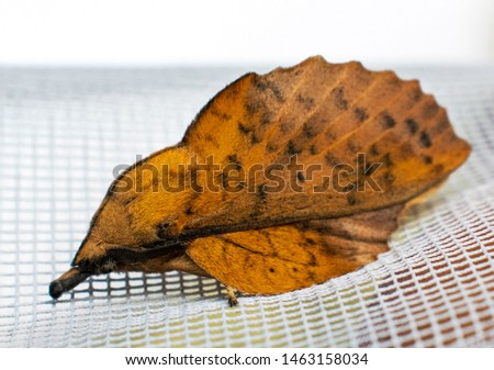 a nice night butterfly with a bizarre look. Moth. His body resembles a leaf