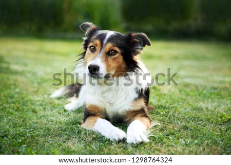 A nice peaceful dog, lying on green grass before obedience training #1298764324