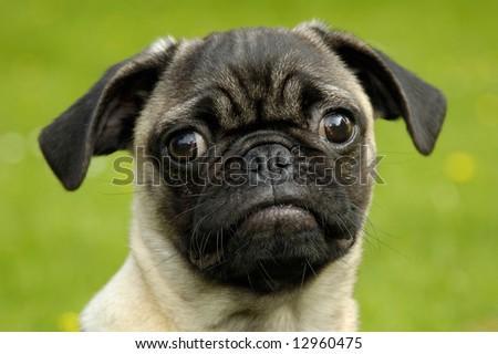 A nice pug