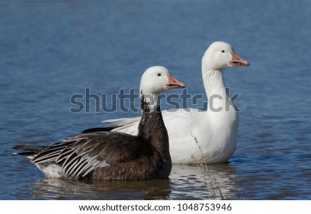 A nice side-by-side comparison between the rare blue morph Snow Goose and its common/regular white companion in New Mexico.