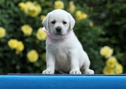 a nice yellow labrador puppy on the blue background