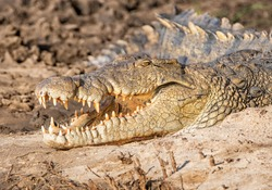 A Nile Crocodile sunning itself on a riverbank in Southern Africa