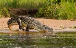 A Nile Crocodile, the bigger predator of the Nile River.