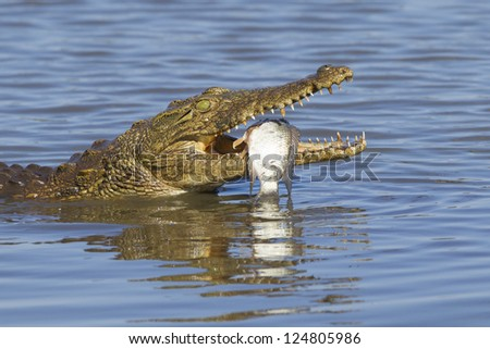 a Nile Crocodile with its fish catch, Kruger Park, South Africa. (Crocodylus niloticus)