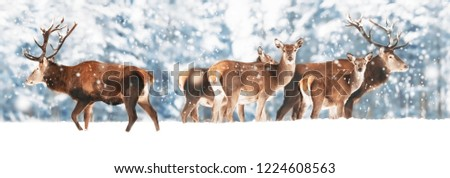 A noble deer male with deer females in the herd against the background of a beautiful winter snow forest. Artistic winter landscape. Christmas photography. Winter wonderland. Banner design.