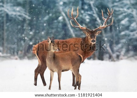 A noble deer male with female against the  beautiful winter snow forest. Artistic winter landscape. Christmas image.