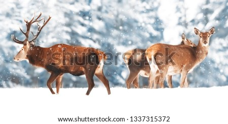 A noble deer with females in the herd against the background of a beautiful winter snow forest. Artistic winter landscape. Winter wonderland.