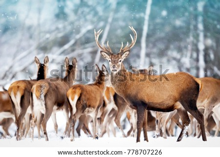 A noble deer with females in the herd against the background of a beautiful winter snow forest. Artistic winter landscape. Christmas photography. #778707226