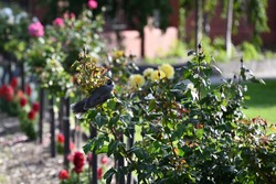 A noisy miner bird perched on a rose bush