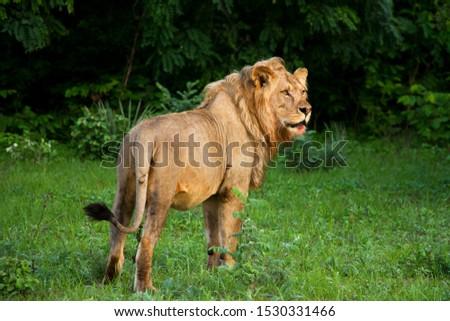 A nomadic lion visits the Katuma area where he grew up in Katavi National Park, Tanzania #1530331466
