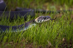A non-venomous snake crawls in low green grass , sticking out its forked tongue. It's Natrix natrix (grass, ringed or water snake). It's often found near water and feeds on amphibians.
