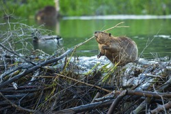 A North American beaver works on its dam in Grand Teton National Park, Wyoming.