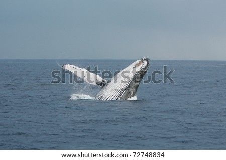 "A North Pacific Humpback Whale ""Megaptera novaeangliae"" breeches or jumps out of the water off the shores of Maui Hawaii"