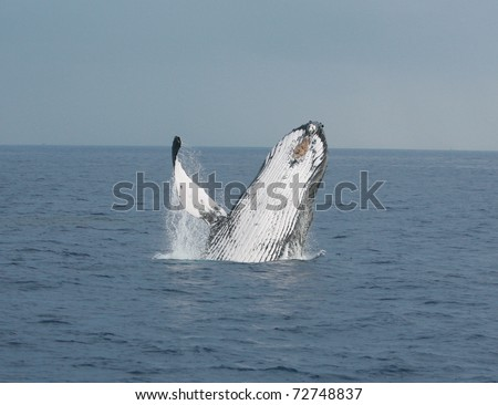 """A North Pacific Humpback Whale """"Megaptera novaeangliae"""" breeches or jumps out of the water off the shores of Maui Hawaii"""