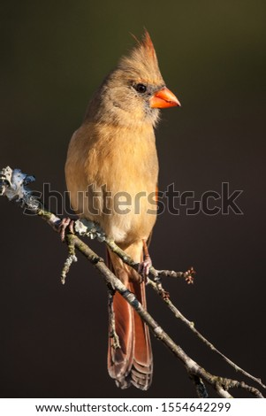 A northern cardinal perched on a branch #1554642299